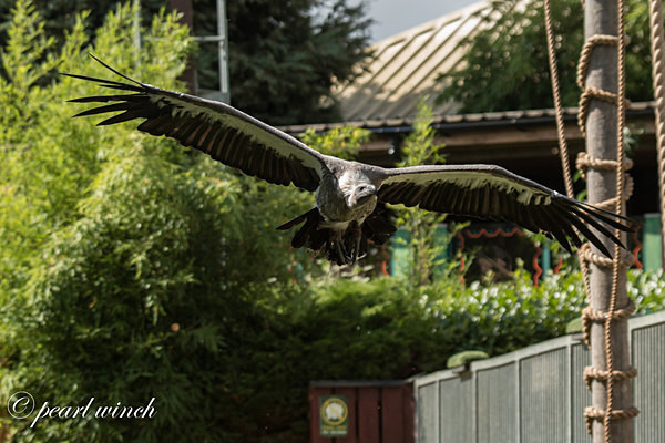 Vulture (© Pearl Winch) - Colchester Zoo - Customer Images