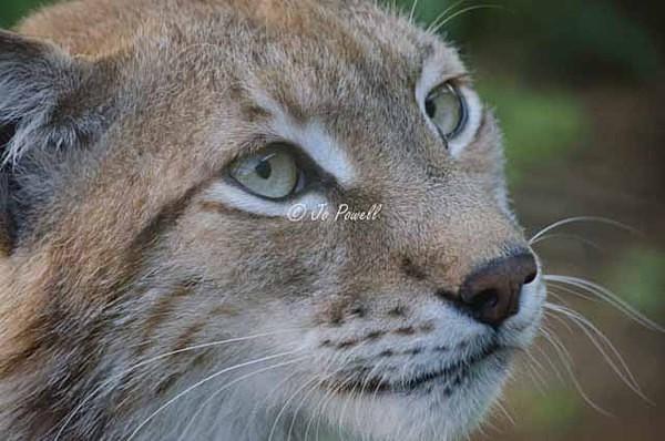 Lynx (© Jo Powell) - Cat Survival Trust - Customer Images