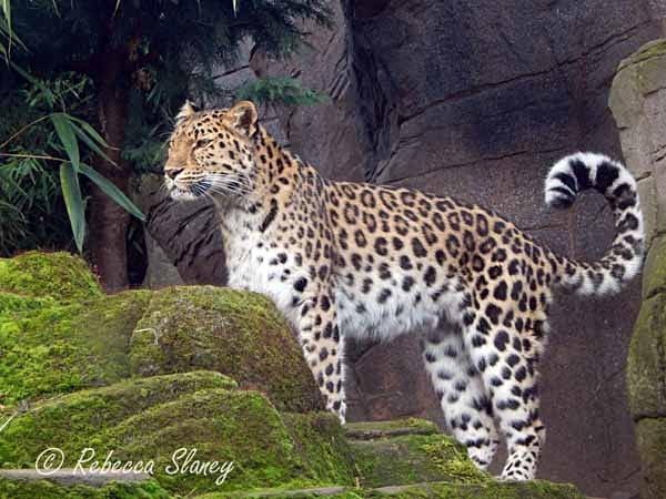 Amur Leopard - Milena (© Rebecca Slaney) - Colchester Zoo - Customer Images