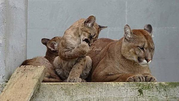 Pumas (© Roger Gould) - Cat Survival Trust - Customer Images