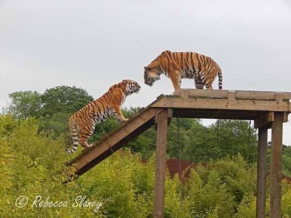 Amur Tigers - Igor & Anoushka (© Rebecca Slaney) - Colchester Zoo - Customer Images