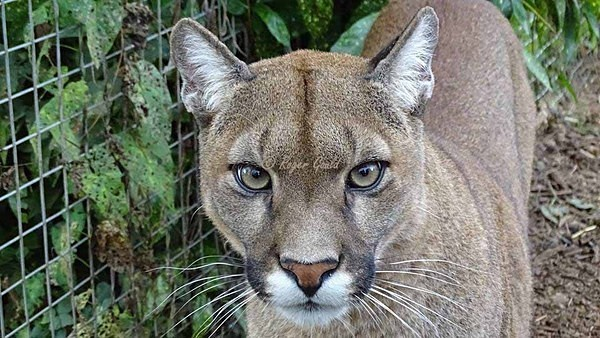 Puma (© Roger Gould) - Cat Survival Trust - Customer Images