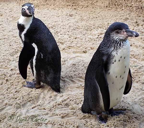 Humboldt Penguins (© Daniel Carter) - Colchester Zoo - Customer Images