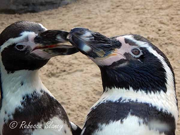 Penguins (© Rebecca Slaney) - Colchester Zoo - Customer Images