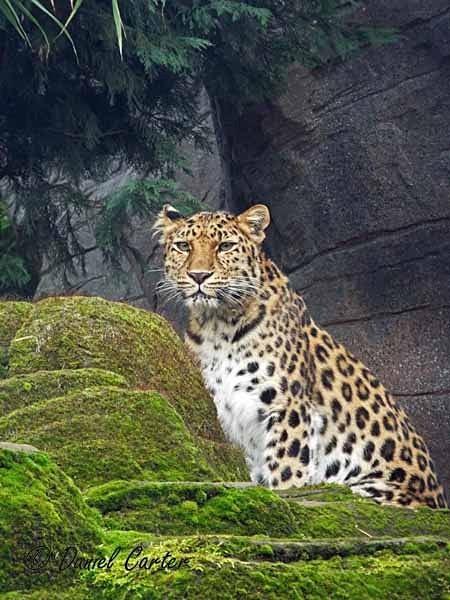 Amur Leopard - Milena (© Daniel Carter) - Colchester Zoo - Customer Images