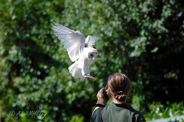 Barn Owl (© Anne Hickey) - Colchester Zoo - Customer Images