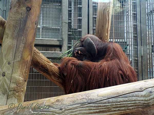 Orangutan - Rajang (© Daniel Carter) - Colchester Zoo - Customer Images