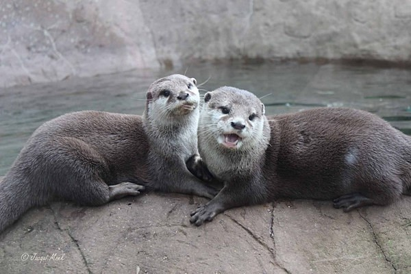 Asian Short-clawed Otters (© Jacqui Monk) - Colchester Zoo - Customer Images