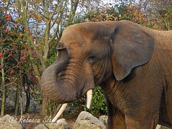 African Elephant (© Rebecca Slaney) - Colchester Zoo - Customer Images