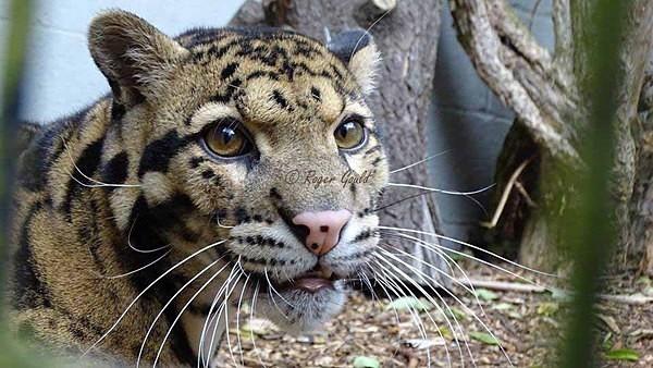 Clouded Leopard (© Roger Gould) - Cat Survival Trust - Customer Images