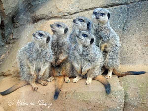 Meerkats (© Rebecca Slaney) - Colchester Zoo - Customer Images