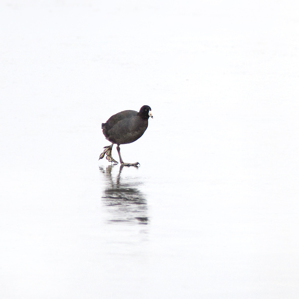 COOT ON ICE - LONG POINT MARSH - CREATURES