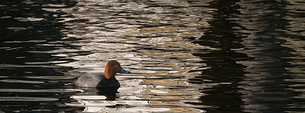 REDHEAD - INNER BAY, LONG POINT - CREATURES