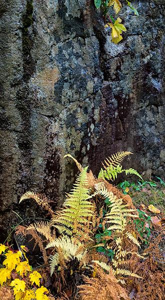 FERNS & ROCK FACE - ACADIA NP, MAINE - EAST COAST, OCTOBER, 2014