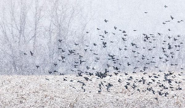 BLACKBIRD FLOCK IN SNOW #2 - LONG POINT BEACH - 'SELDOM SEEN' WINTER AT LONG POINT, 2016