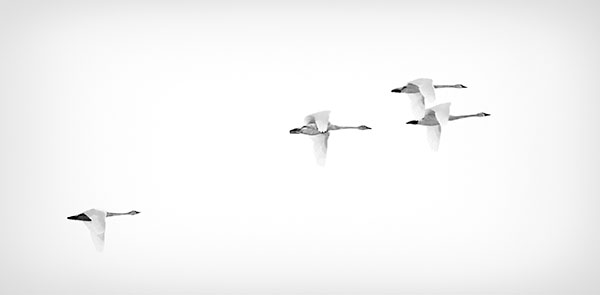 TUNDRA SWANS - LONG POINT - CREATURES