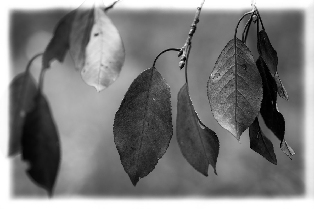 Fall Leaves - Fine Art Black and White - Various Locations