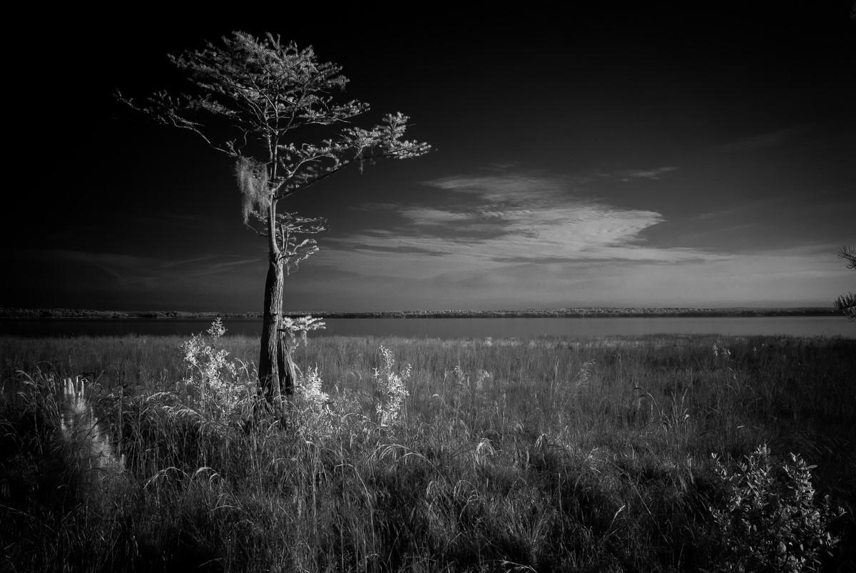 Cypress II - Fine Art Black and White - Florida