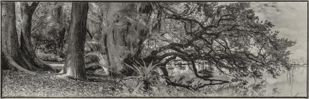 Live Oak - Fine Art Black & White Panoramic 3:1 Ratio