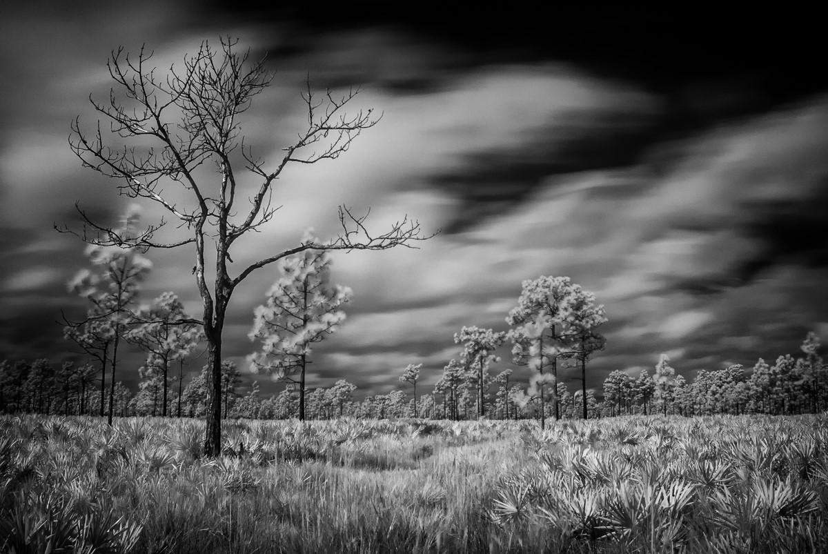 Palmetto Prairie - Fine Art Black and White - Florida