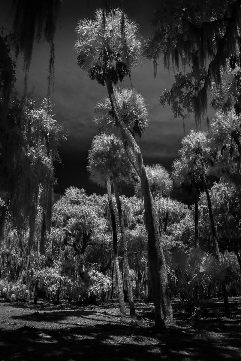 Twisted Palms - Fine Art Black and White - Florida