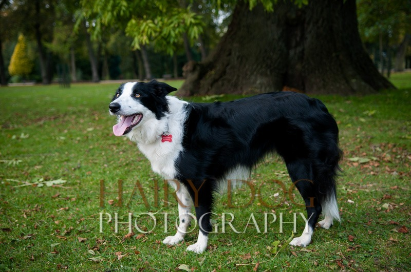 hd-tilly-30 - Tilly the Collie