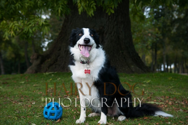 hd-tilly-24 - Tilly the Collie