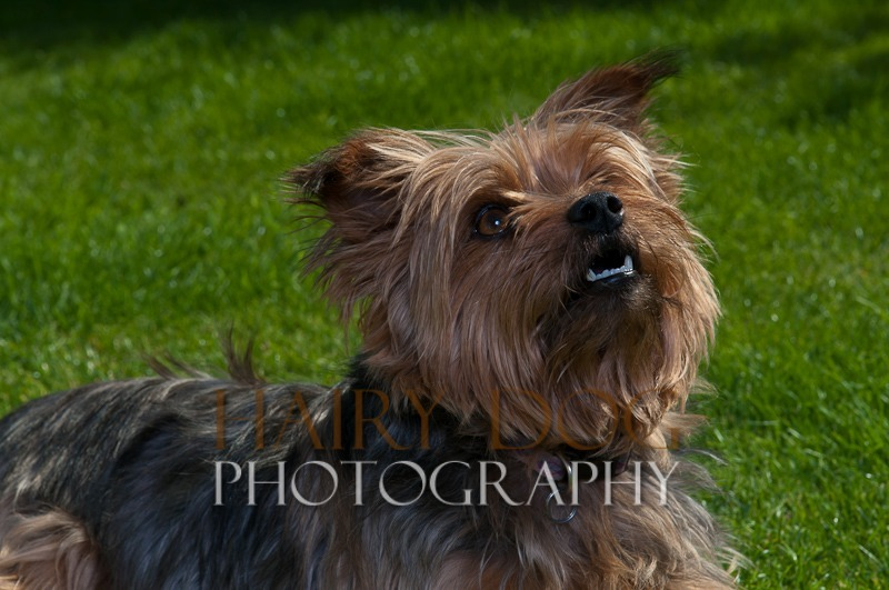 tilly-11 - Tilly the Yorkshire Terrier