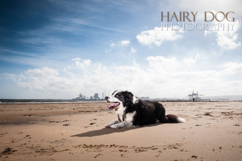 jed-collie-62 - Jed the Collie at Seaton Carew Beach