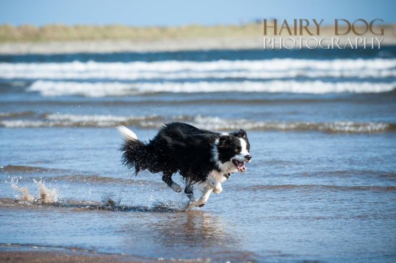 jed-collie-30 - Jed the Collie at Seaton Carew Beach