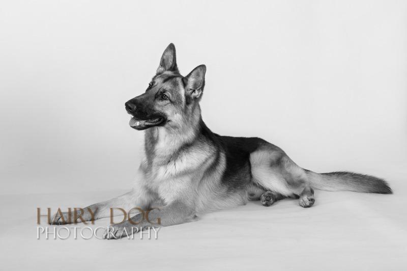zeus-18 - Zeus the German Shepherd Dog.