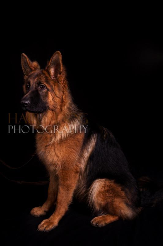 german shepherd photograph-14 - German Shepherd Show, 26th October '13