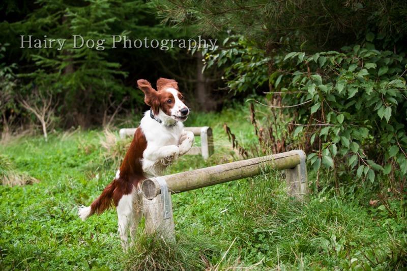 ozzy-welsh-springer-24 - Ozzy the Welsh Springer