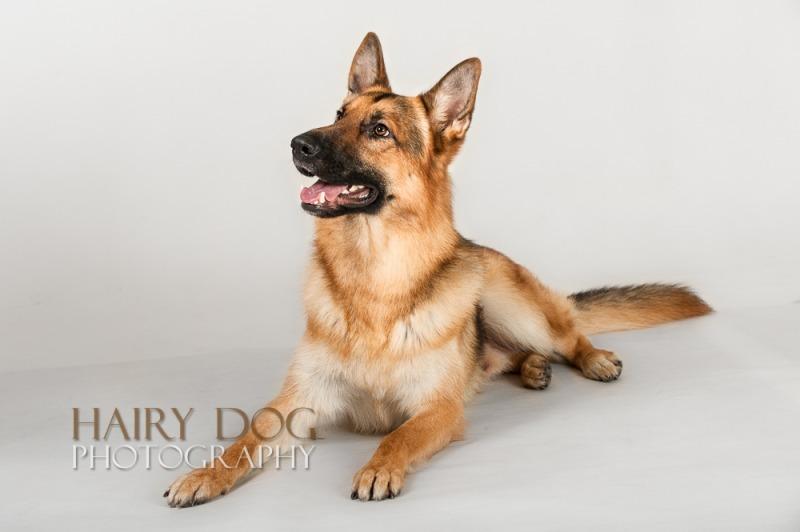 zeus-22 - Zeus the German Shepherd Dog.