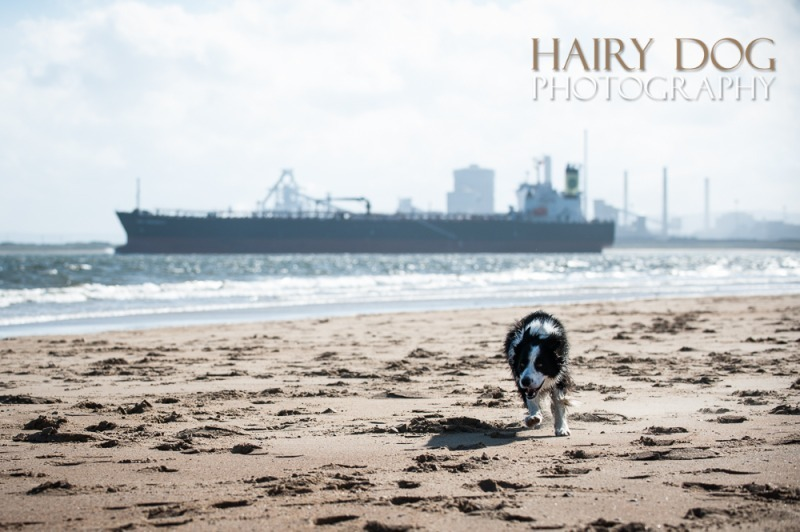 jed-collie-45 - Jed the Collie at Seaton Carew Beach