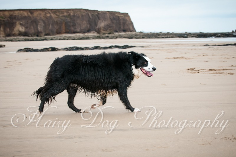 dog-photography-seaham-62 - Tess the Collie