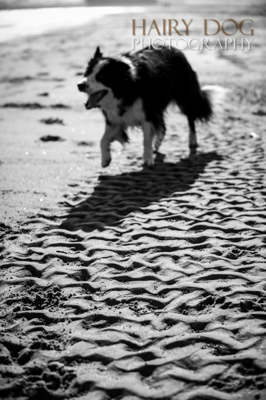 jed-collie-42 - Jed the Collie at Seaton Carew Beach