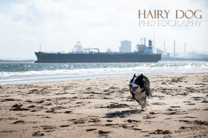 jed-collie-46 - Jed the Collie at Seaton Carew Beach