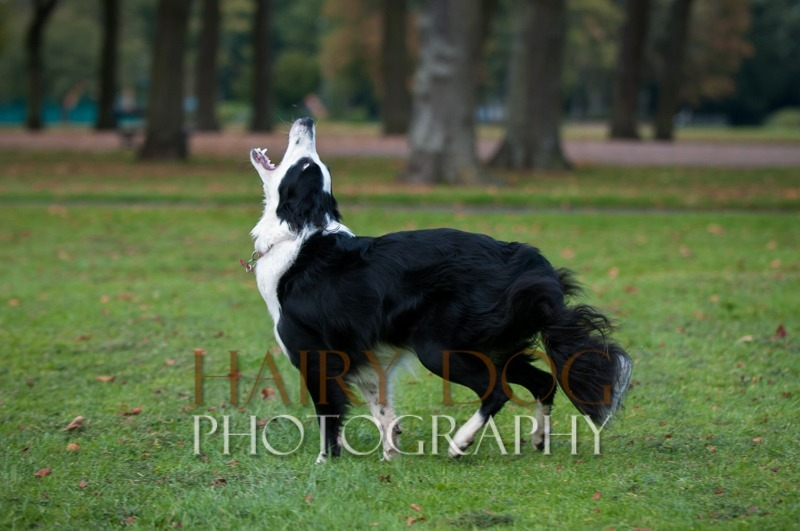 hd-tilly-22 - Tilly the Collie