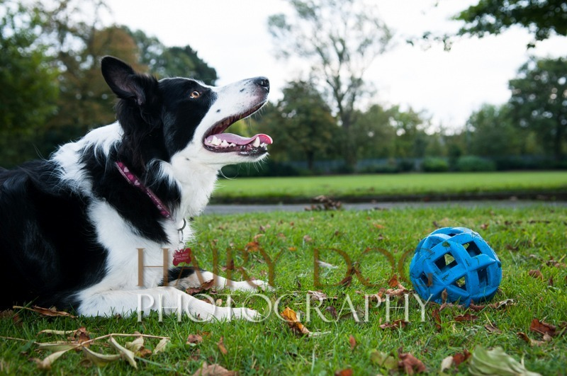 hd-tilly-35 - Tilly the Collie