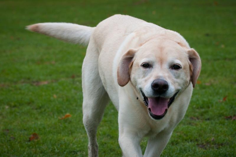 rosie-12 - Rosie the Yellow Labrador.