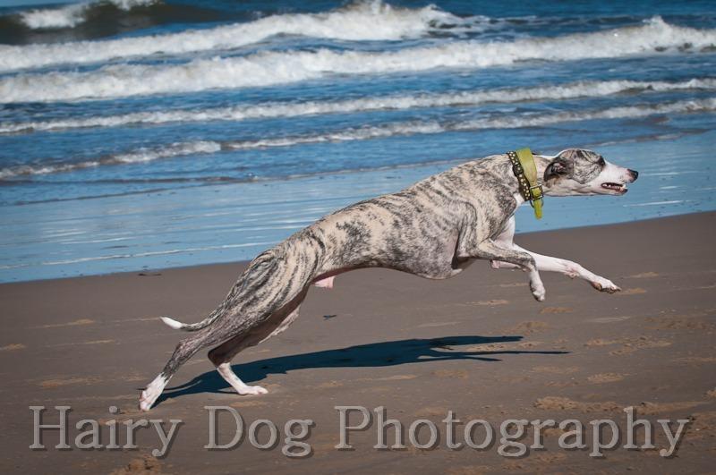 HD-62 - Amy's Dogs, Tynemouth Beach