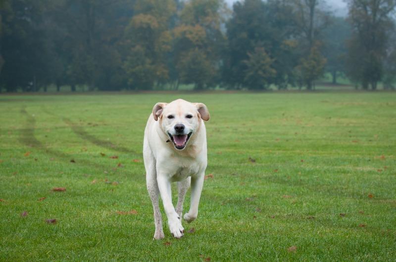 rosie-7 - Rosie the Yellow Labrador.