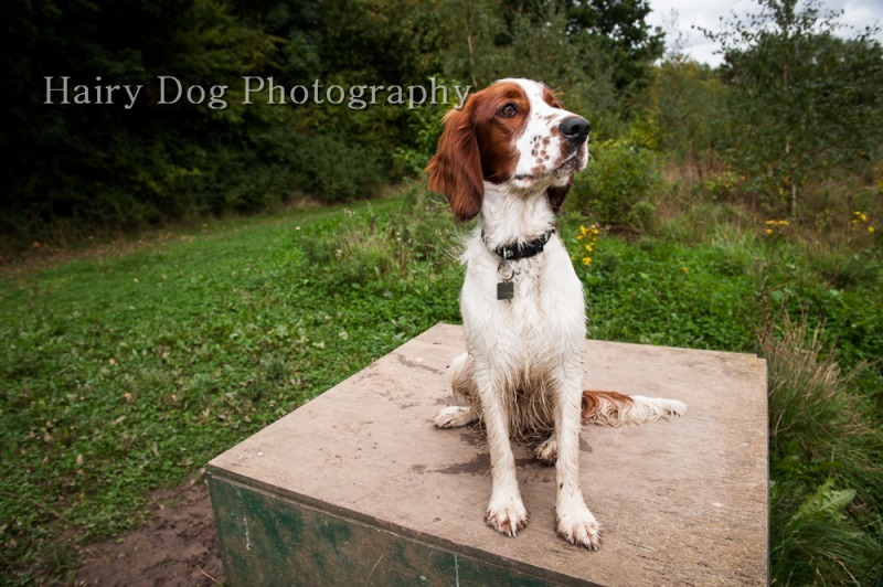 ozzy-welsh-springer-51 - Ozzy the Welsh Springer