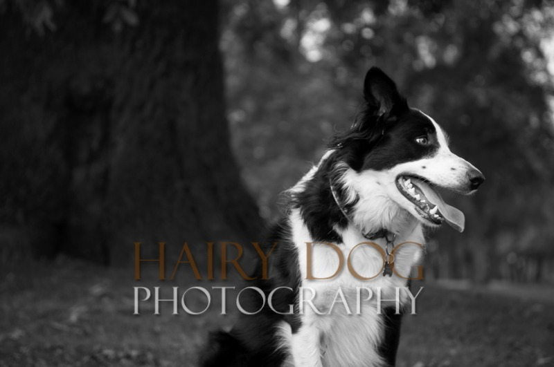 hd-tilly-26 - Tilly the Collie