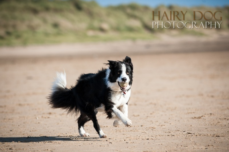 jed-collie-3 - Jed the Collie at Seaton Carew Beach