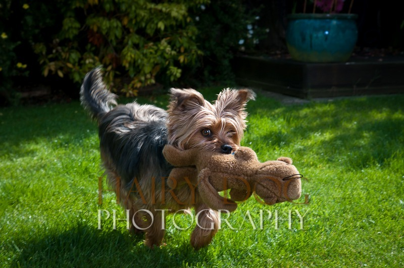 tilly-14 - Tilly the Yorkshire Terrier