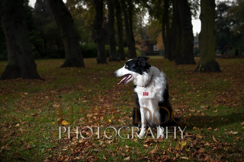 hd-tilly-40 - Tilly the Collie