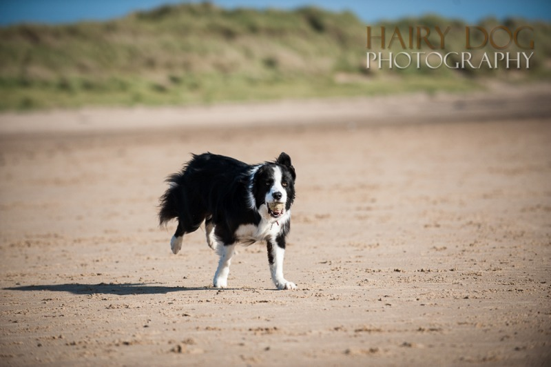 jed-collie-2 - Jed the Collie at Seaton Carew Beach
