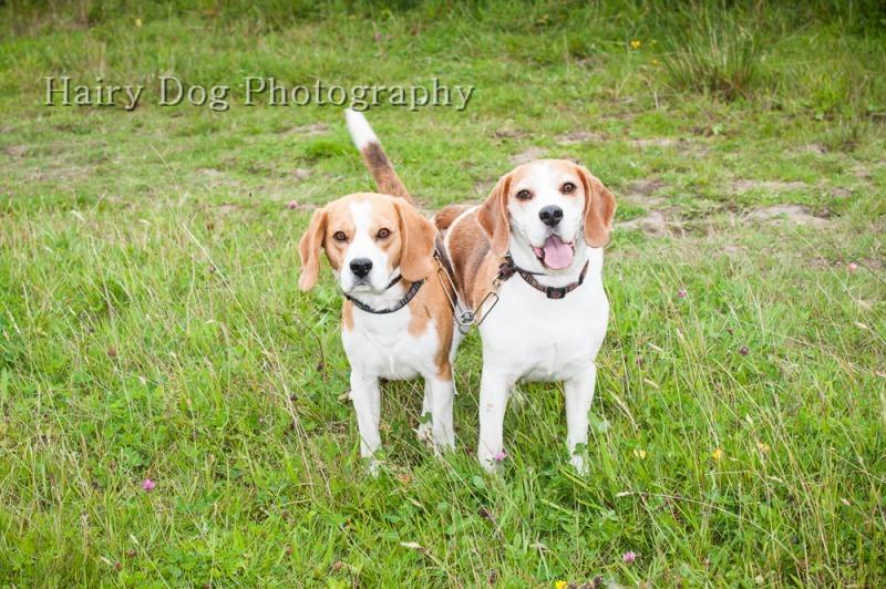 barney-buddy-34 - Barney and Buddy, the Bouncy Beagles!